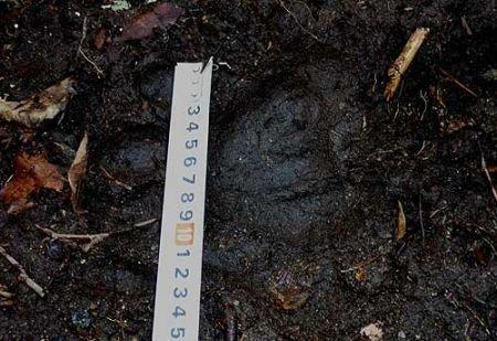 专家:野生东北虎数量恢复仍存在机会(图)