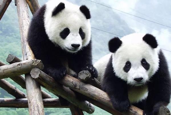 """保护野生大熊猫 投资获10倍以上""""暴利"""""""