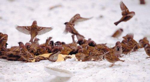几十只小鸟飞来抢食小米