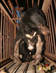 活熊取胆技术是80年代由朝鲜传入中国的。活熊取胆是这样一种酷刑:不直接取黑熊性命,却让它痛苦得生不如死。
