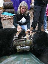 亚洲动物基金解救取胆黑熊。