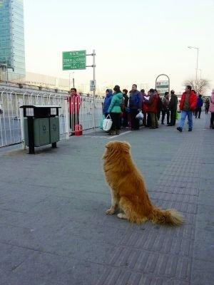 金虎在车站守望,等待主人归来。