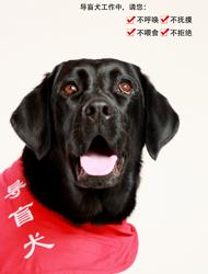 路遇导盲犬请做到:不呼唤,不拒绝,不抚摸,不喂食。