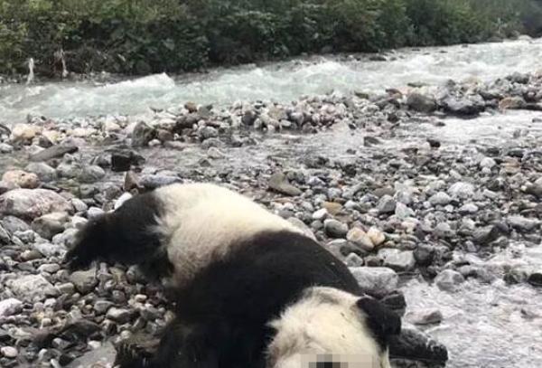 专家回应大熊猫溺亡质疑:最好的保护是让它适应自然