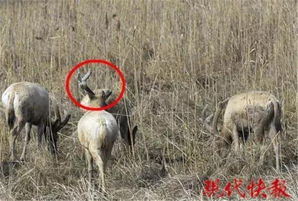 保护区麋鹿被网绳勒死 20多头曾被困:种植户设拦网