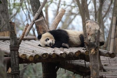 """成都多只大熊猫遭遇""""黑眼圈变白"""",医学专家正会诊"""