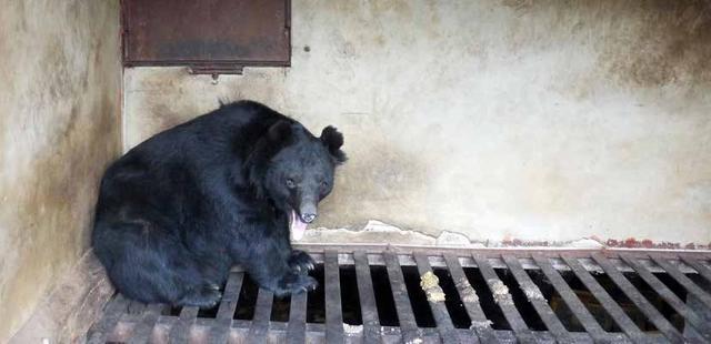 给圈养黑熊绝育:退出熊胆业韩国迈出重要一步