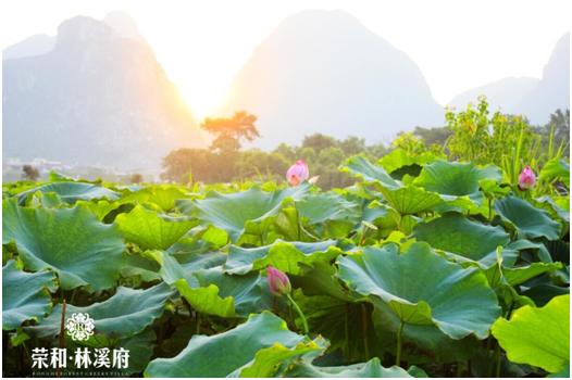 千亩荷塘荷花争相开放 荣和林溪府占据琴潭最佳观景地