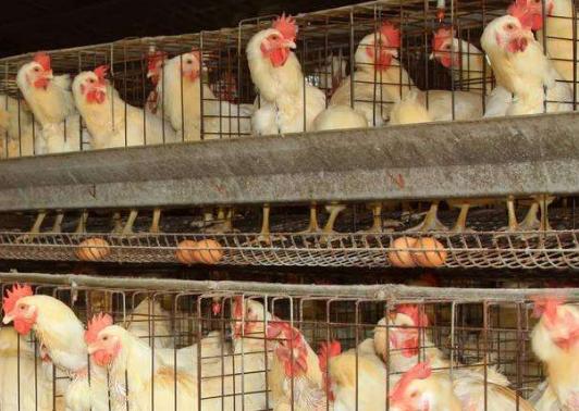 贵州省生态家禽产业将实现极贫乡镇全覆盖
