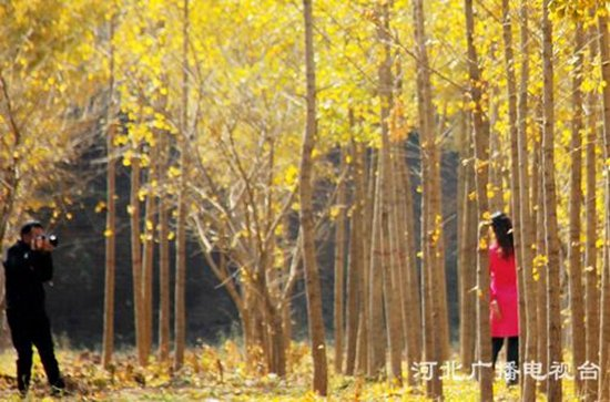 邯郸广平县:又是银杏树叶泛黄时