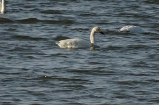 邯郸:北湖里飞来白天鹅群 景如画