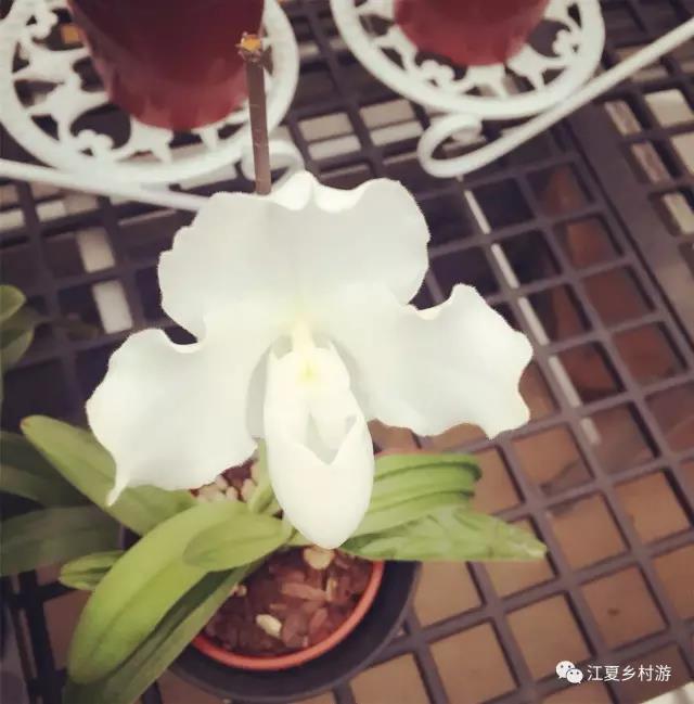 名贵兰花品种皇后兜兰将亮相武汉迎春花市