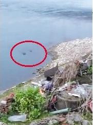 宜昌市民拍到3头黑毛猪游长江 大呼不可思议