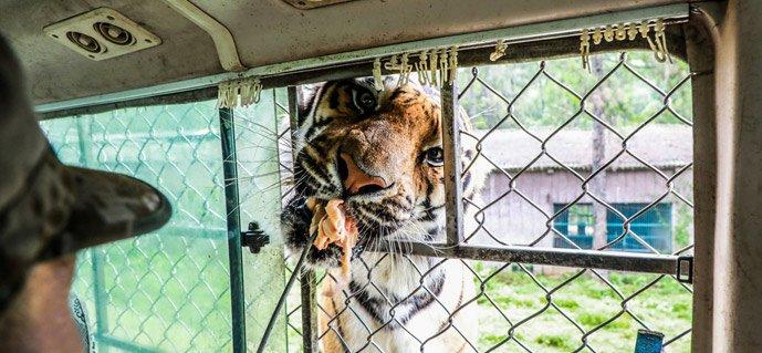 老虎头伸进车内獠牙舞动 铁护网真能保全游客