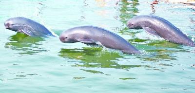 石首保护区水位小涨 江豚未受到汛期影响(图)