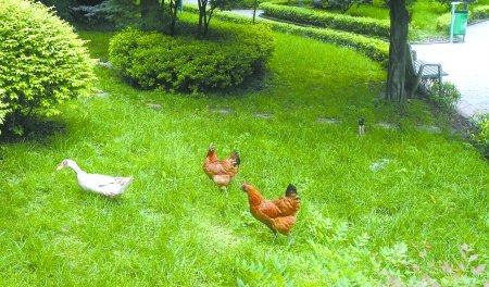 农村禁止养鸡通知
