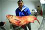 丹江口水库现野生鳙鱼王 重达65斤之前从未看见