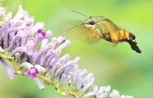 湖南发现四不像昆虫 像鸟像蜂又像蝶(图)