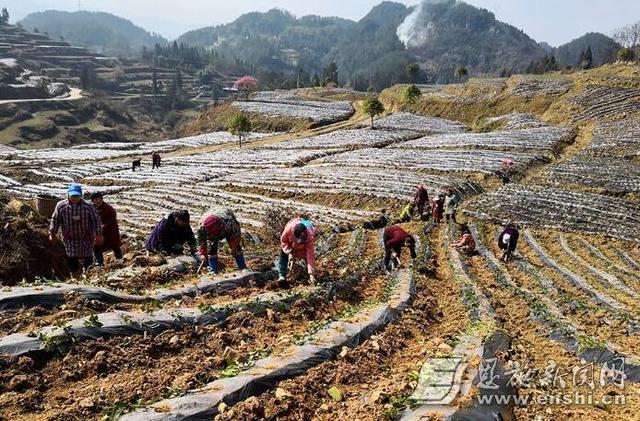 """高乐山镇着力抓好产业扶贫 打造""""两茶产业带"""""""