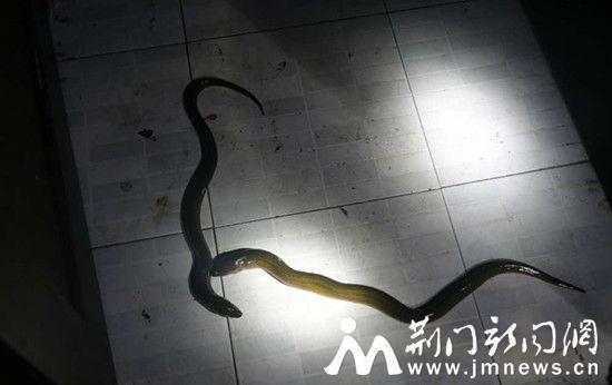 荆门一男子报警称家里有两条蛇 其实是黄鳝