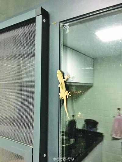 17楼的新家里 进来一只金壁虎 壁虎虽不罕见 却是保护动物