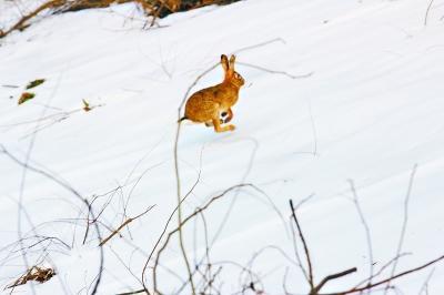 抢拍下的野兔照片 郝女士供图