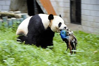 """真实版""""功夫熊猫""""上演 过路蓝孔雀被咬死(图)"""