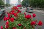 百万株月季绕城90公里 武汉最全街头赏花地图在此