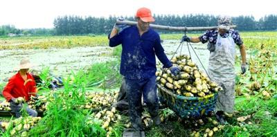 莲藕丰收农户采挖忙 每亩平均收入近4000元