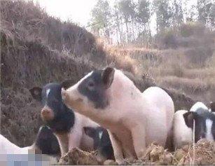 湖北一90后女孩养猪 年入上百万元