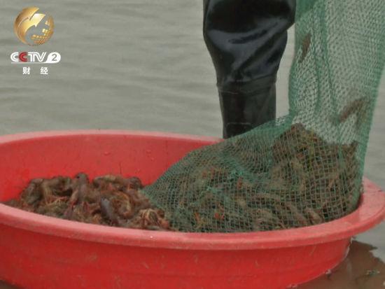 小龙虾曾是湖北潜江农民心中的大害