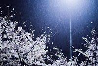 """组图:武大""""雪樱花"""":春樱冬雪 不期而遇"""