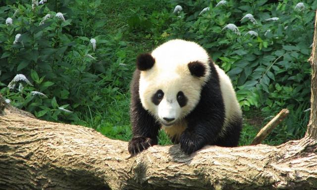 """陕西少年痴迷熊猫离家出走 想到成都看""""活滚滚"""""""