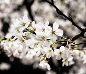 春归田园•浪漫瞬间——报名参加樱花摄影节