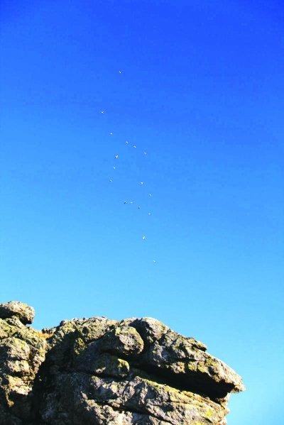 """神农架生态旅游区现""""炸弹鸟"""" 飞行姿态很奇特"""