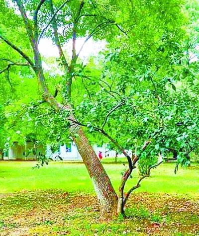 """公园现共生""""连理树"""" 橘树长在樟树""""腿""""上"""
