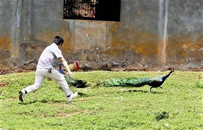 武汉市民动物园中堵截孔雀 骚扰梅花鹿(图)