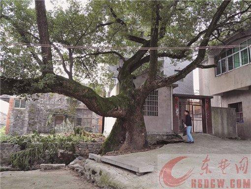 下海湾有11棵百年以上古树