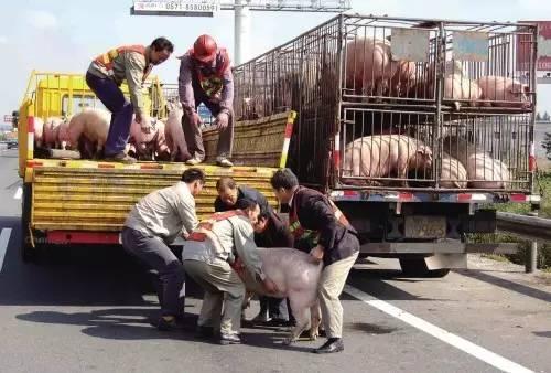 墨西哥运猪车高速侧翻,至少120头猪被疯抢赶走,警察无奈旁观