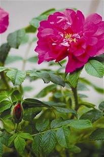 玫瑰一直被 顶包 市面上玫瑰花几乎都是月季