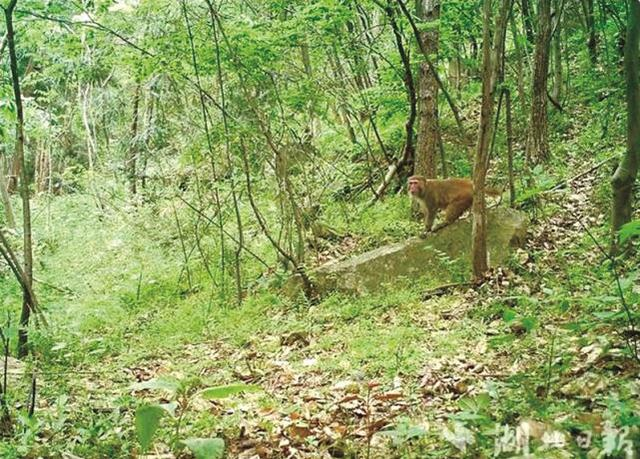 广水中华山首次发现国家二级保护动物野生猕猴