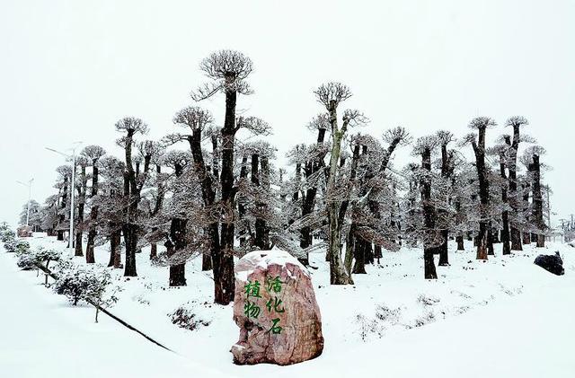 图为:雪中对节白蜡,别有一番景致。