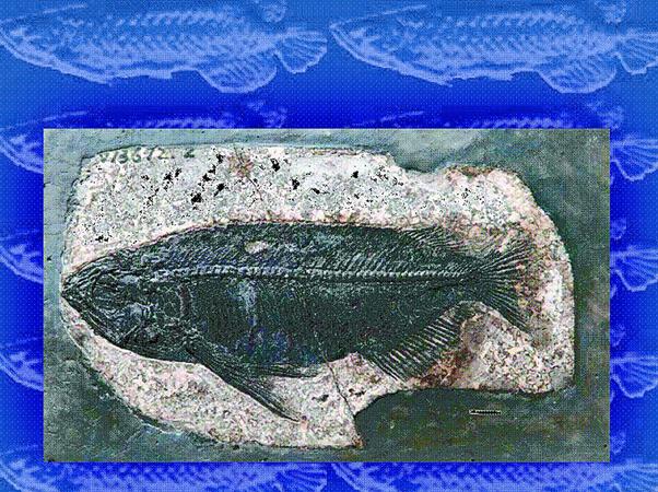 松滋发现世界上最完整金龙鱼化石 完整到堪称完美