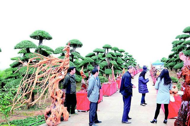 图为:京山县孙桥镇对节白蜡根雕作品吸引游人。