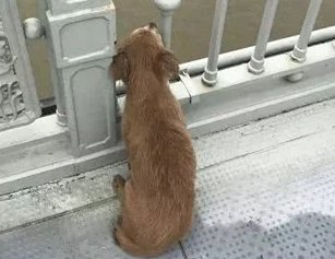 主人跳江轻生 狗狗趴桥上痴望江水几天不走