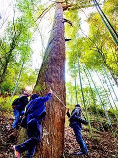利川发现黄杉原生母树群落 树龄均在200年以上