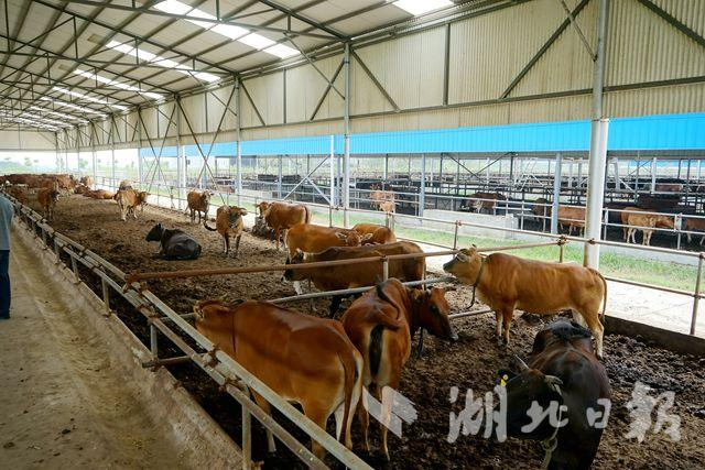 """每天按摩每公斤卖1200元 夷陵牛""""真牛"""""""