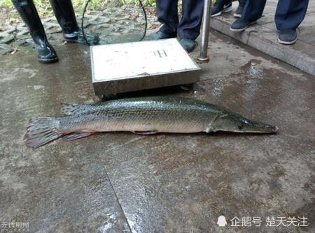 湖北捞起一条怪鱼 经查证竟是外来物种入侵