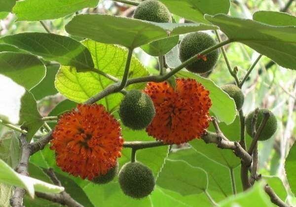 街头构树红果成熟 市民吐槽:易引蚊虫污染卫生