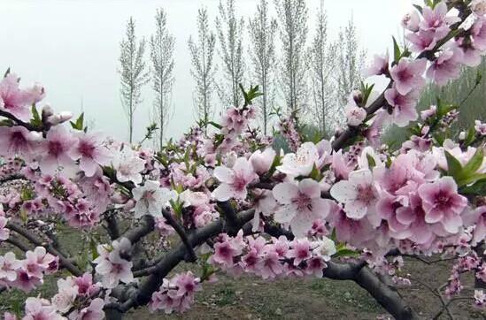 漫山遍野分布的野生老樱桃树得名.樱桃沟花开从3月一直持续到5月,图片